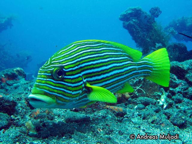 Hebat 10 Ikan Komersial Ini Menentukan Kesehatan Terumbu Karang Kafe Penyelaman