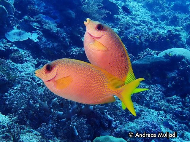 Ikan Beronang