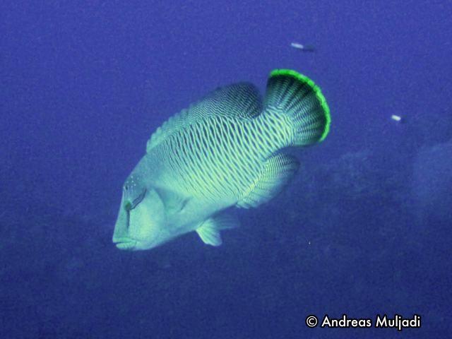 Ikan Maming