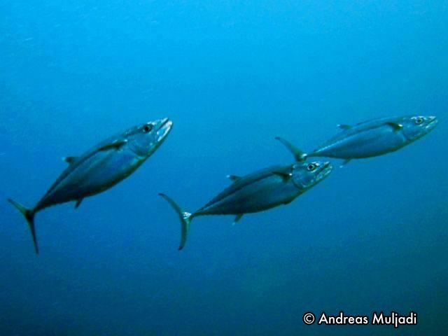 Ikan Tenggiri dan Tuna