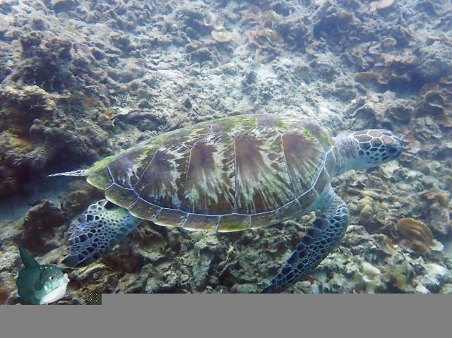Biota Laut :  Green Turtle - Penyu Hijau