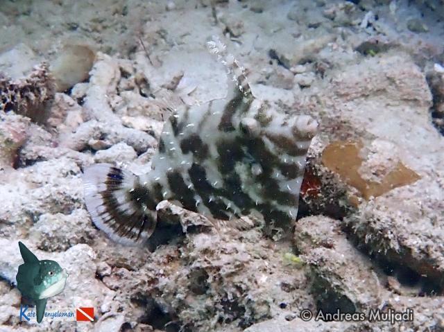 Biota Laut : File Fish