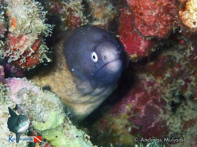 Biota Laut : Belut Mata Putih