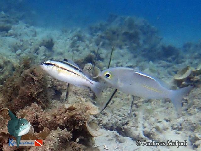 Biota Laut :  Nemipteridae