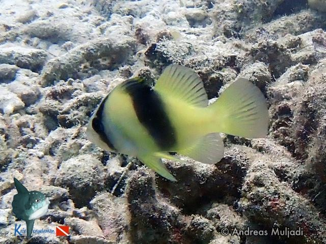 Biota Laut :  Ikan Sabun