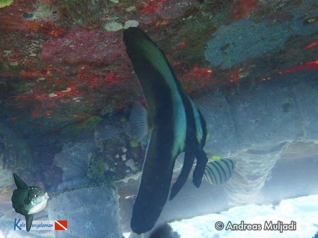 Biota Laut :  Batfish - Ikan Kelelawar