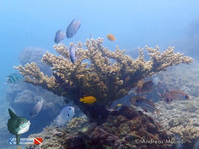 Biota Laut : Karang Acropora