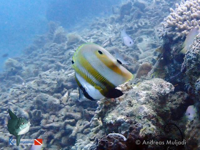 Biota Laut : Ikan Kepe-kepe