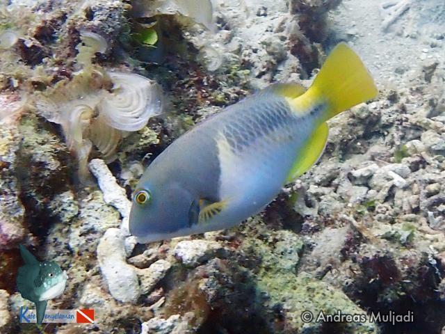 Biota Laut : Anchor Tuskfish