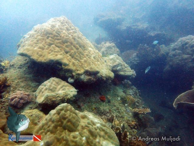 Biota Laut :  Karang Masif Porites