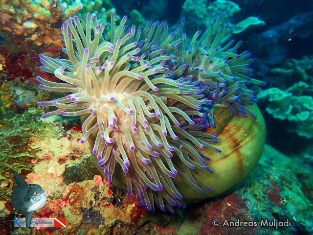 Biota Laut : Heteractis magnifica - Anemon Laut