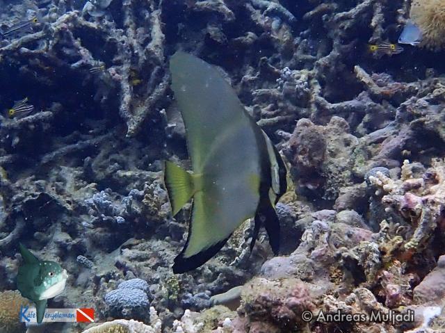 Biota Laut :  Ikan Kelelawar - Batfish