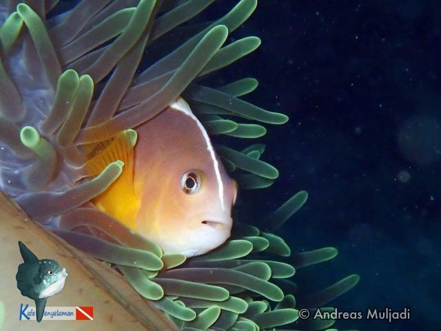 Biota Laut : Ikan Badut - <i>Amphiprion akallopisos</i>