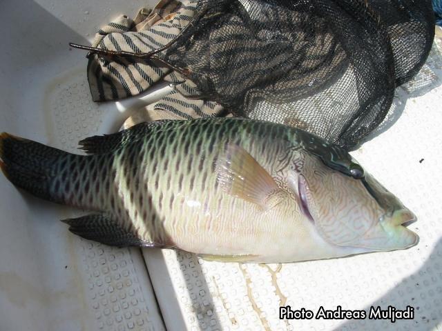 Penangkapan Ikan Napelon dengan Racun