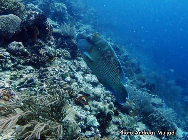 Ikan Napoleon <i>Cheilinus undulatus</i> Betina
