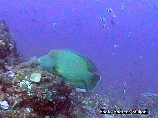 Ikan Napoleon <i>Cheilinus undulatus</i> Dewasa