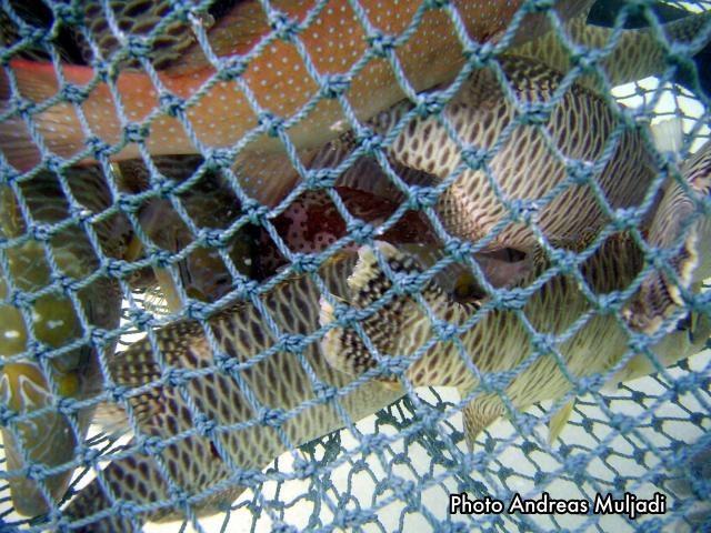 Ikan Napoleon siap diperdagangkan