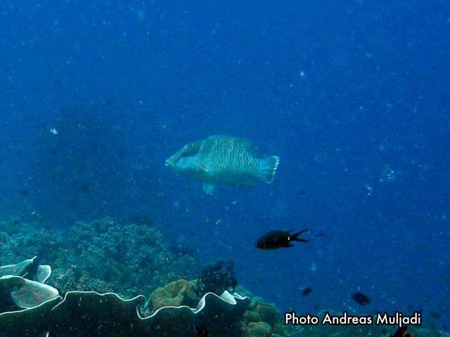 Ikan Napoleon  <i>Cheilinus undulatus</i> betina muda