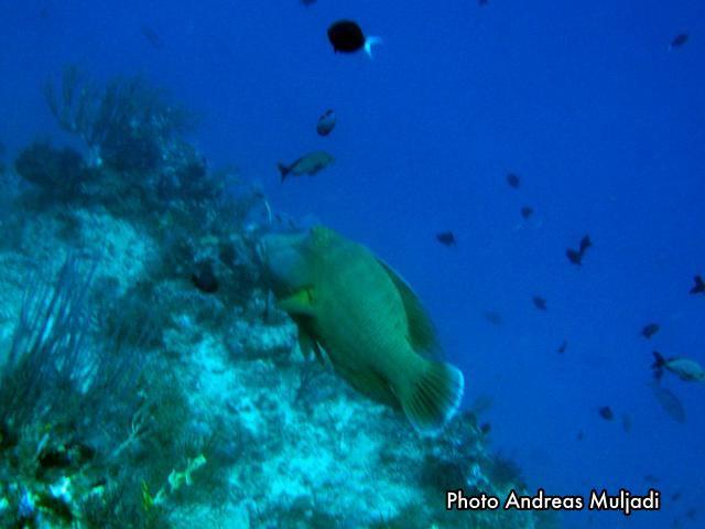 Ikan Napoleon  <i>Cheilinus undulatus</i> Betina Dewasa siap berubah menjadi Janta Muda
