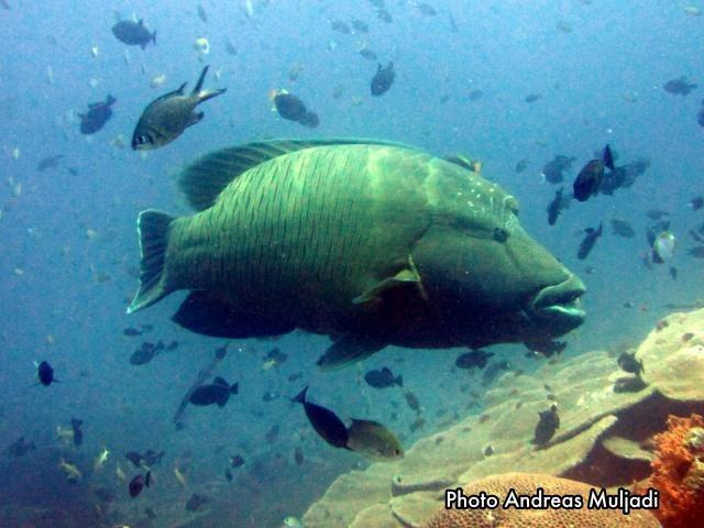 Ikan Napoleon  <i>Cheilinus undulatus</i> Betina Dewasa