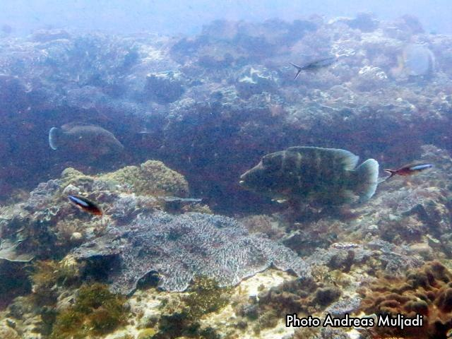 Ikan Napoleon Muda