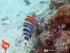 Ikan Pelo Merah - Red-breasted Wrasse