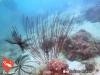 Karang Cambuk - Whip Coral Ellisella