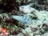 Ikan Pelo Coris