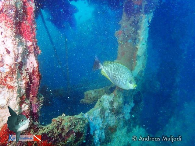 A Rabbitfish at MV Boelongan Wreck