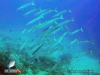 Yellow-tail Barracudas at Amsterdam Wreck