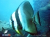 Batfish at Indonor Wreck