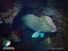 Bumphead Parrotfish at USAT Liberty Wreck