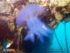 Jellyfish at MV Boelongan Wreck