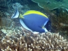 "<b><a href=""https://www.fishbase.de/summary/6017"">Palette Surgeonfish </a></b>"