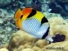 """<b><a href=""""https://www.fishbase.se/summary/8014"""">Black-wedged Butterflyfish</a></b>"""