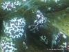 Benthic Comb Jelly