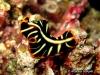 Dimidiatus Flatworm
