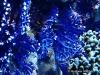 Blue Lace Coral