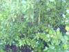 Rhizophora stylosa