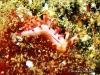 Aeolid Rubrolineata Seaslug
