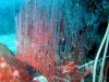 Red Harp Coral