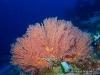 Red Seafan