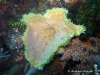 Aerizusa Sponge