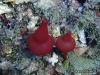 Pericharax Calcareous Sponge