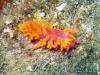 Orange Seaslug